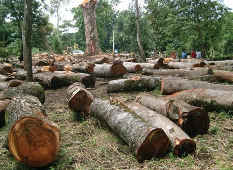 Figura 3. Corte de un árbol emblemático en los límites de la Reserva Natural Laguna de Apoyo.