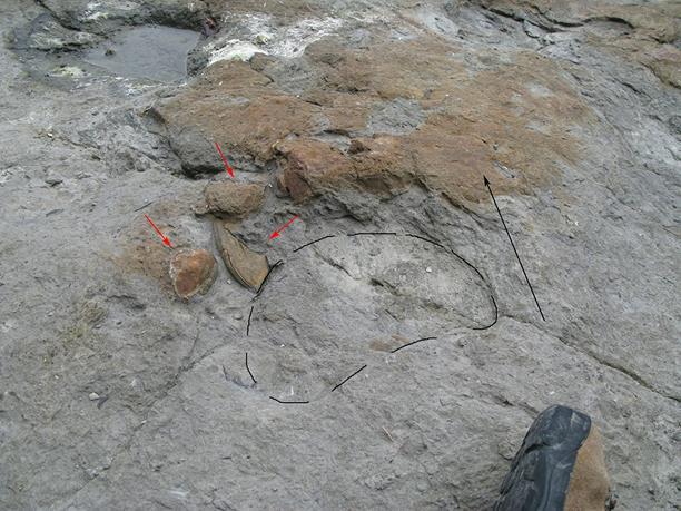 Las huellas de dinosaurios saurópodos demuestran el pisoteo del fondo donde vivían los bivalvos de agua dulce, que actualmente se encuentran desplazados (marcados con flechas rojas). Yacimiento de El Talameru en el Cabo Lastres (Asturias).