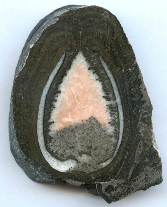Sección de un fósil bivalvo de agua dulce procedente de los acantilados de Huerres en Colunga (Asturias), completamente recubierto por el crecimiento microbialítico.